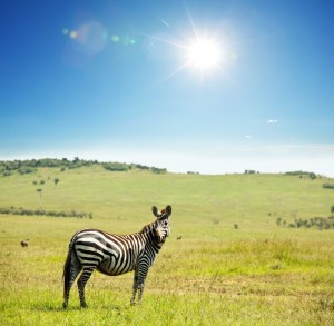 africa-do-sul-zebra