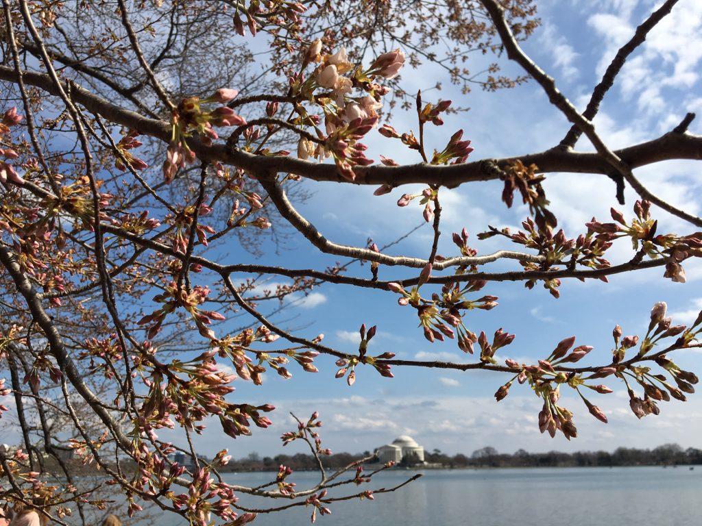 Que tal ver a florada das cerejeiras em Washington D.C.? :)