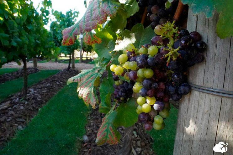 uva no cacho vinicola stellenbosch