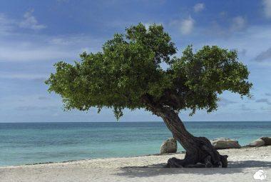 árvore divi-divi  cartão postal  aruba
