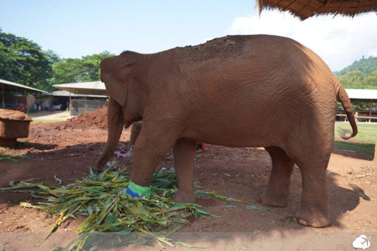 elefante no elephant nature park chiang mai