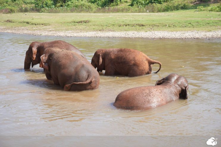 elefantes na lama em chiang mai