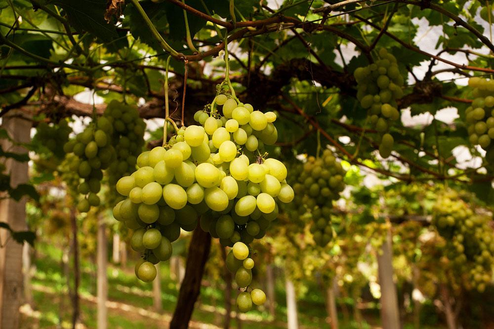 uvas em vinicola no vale dos vinhedos