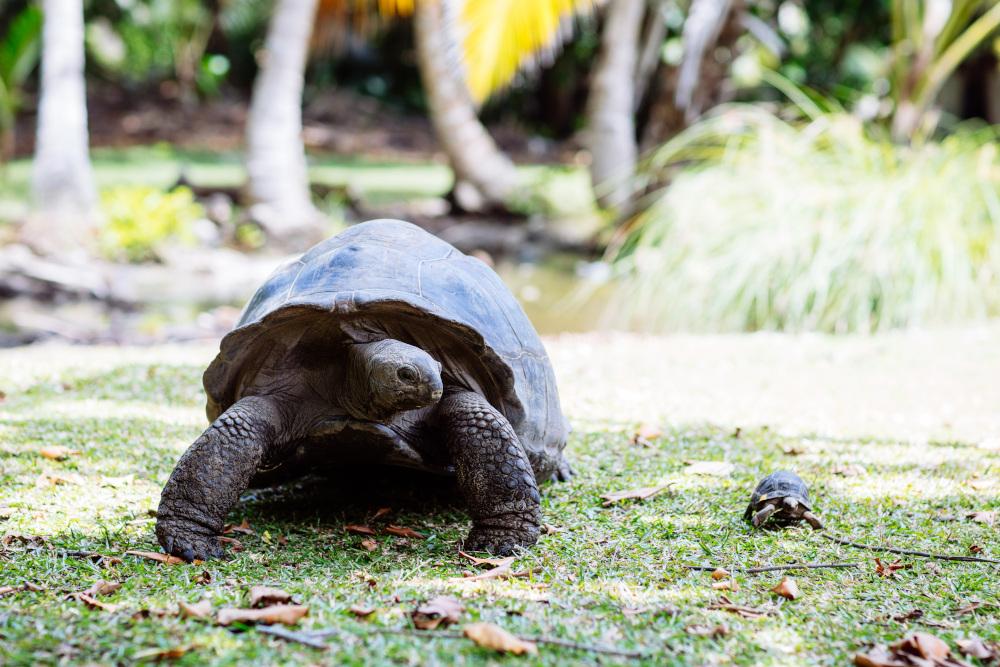 tartarugas gigantes em seychelles